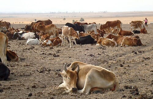Cattle in the great Kenya drought of 2009 (photo credit: ILRI/Dorine Adhoch).