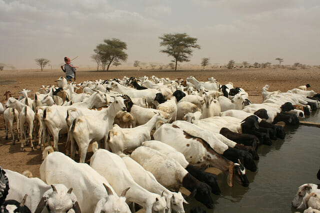Goats drinking water in Kenya, photo by Oxfam