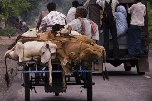 cows transported to slaughter, southern india, sailesh rao climate healers