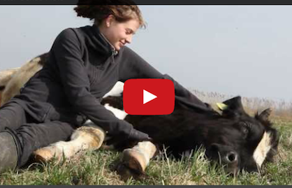 A Lesson From the World's Happiest Cow