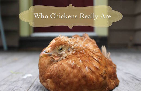 Chicken Behavior An Overview Of Recent Science
