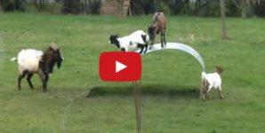 goat video