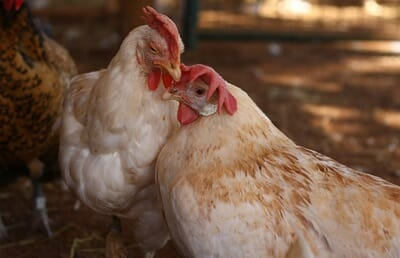 Chickens communicate on many levels, through vocalizing and even body language. photo: Marji Beech