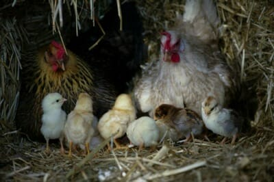 chicken behavior, chickens raising their young
