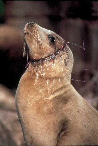 sea lion bycatch victim of fish exploitation