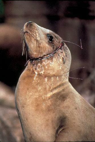 sea lion bycatch victim of fish exploitation
