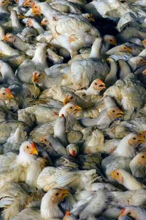 chicken industry