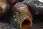 Fish Exploited for Food Suffer Like Mammals and Birds