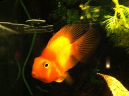 fish, goldfish