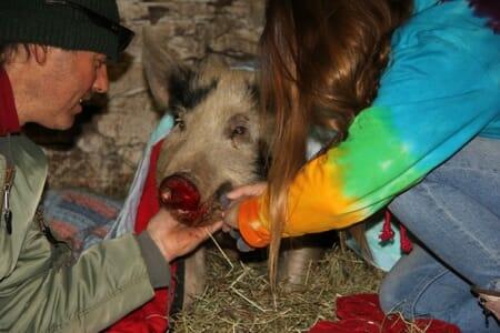 Jeremiah rescued piglet