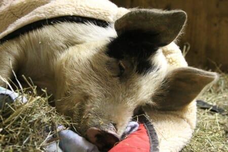 Jeremiah rescued piglet sleeping