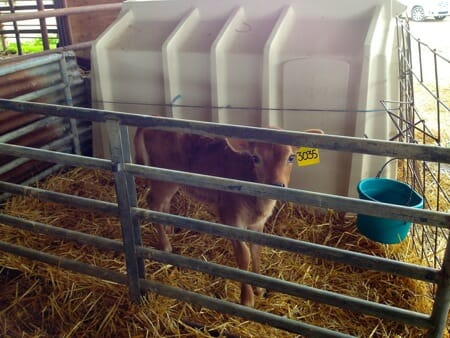 Calf from factory farm alternative
