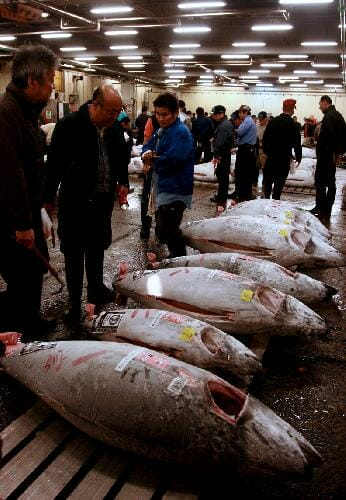 dead tuna fish bodies