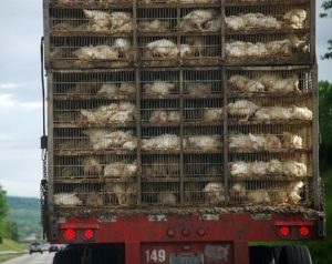 chicken transport truck, animal foods