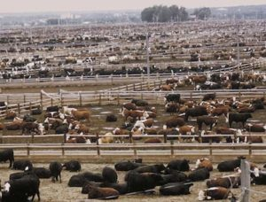 usda feedlot Simon article, animal foods