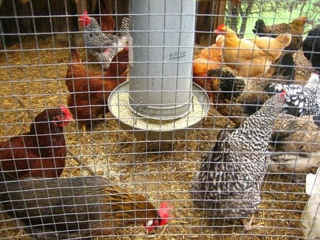 Urban Adamah chickens