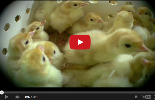 baby turkeys ground up alive at hatcheries