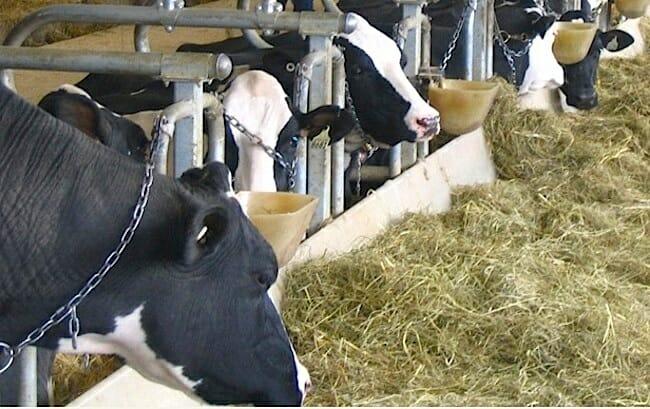 tie stalls, dairy facts