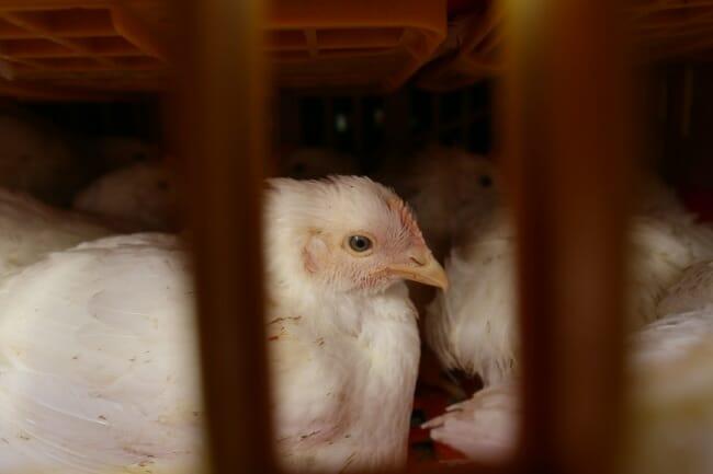 chicken facts, chicken crates
