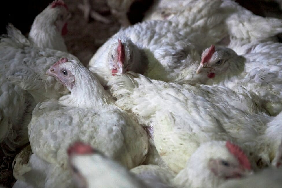 "chicken facts, ""broiler"" farm"