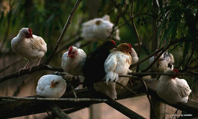 chickens-in-tree