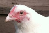 chicken facts, Edith, rescued chicken
