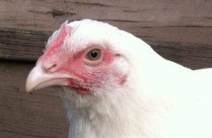 chicken facts, Edith, rescued chicken
