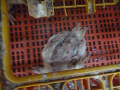 chickens as kaporos