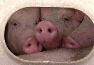 3 sweet pigs pig save copy