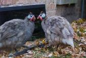 karl-guinea-fowl-looking-in-mirror