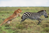lion chasing zebra