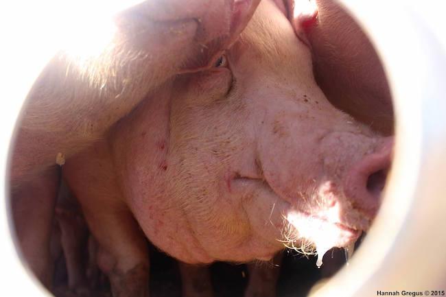 Hannahs-pigs-3