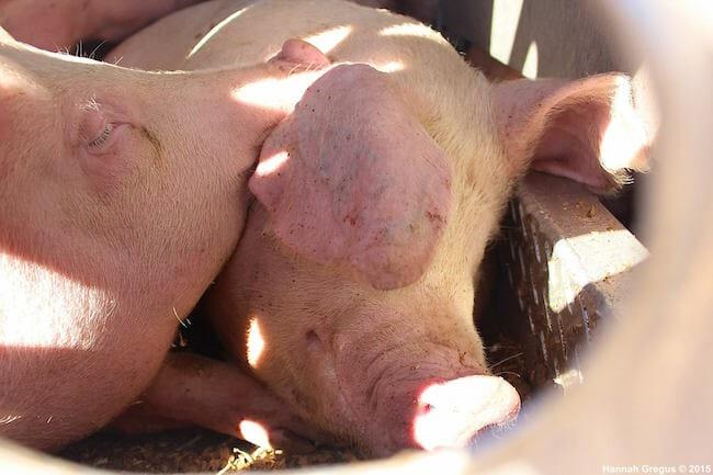 hannahs-pigs-6