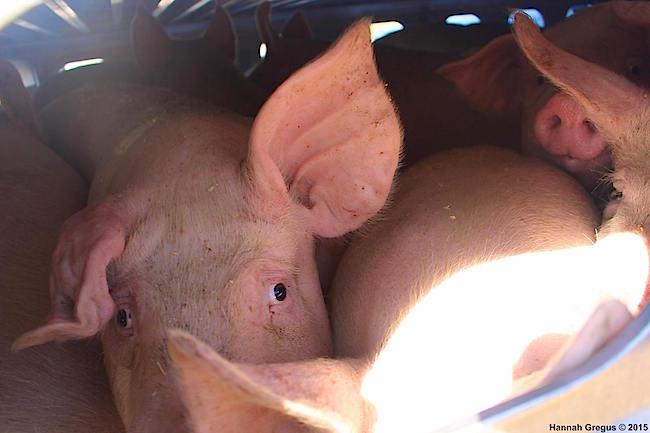 hannahs-pigs-8