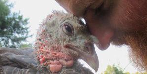 turkeys snuggling