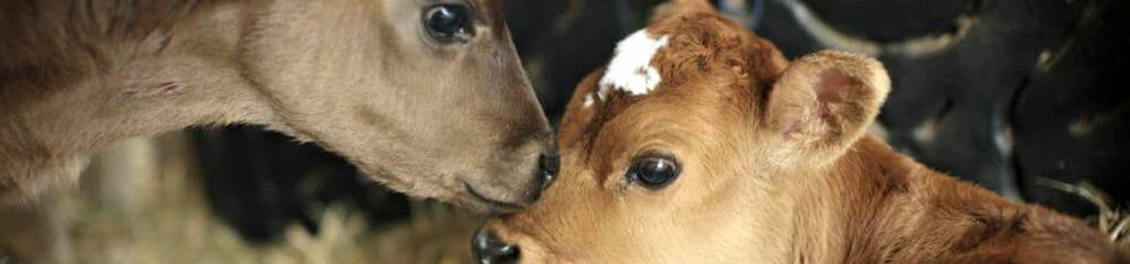 home_banner_calves