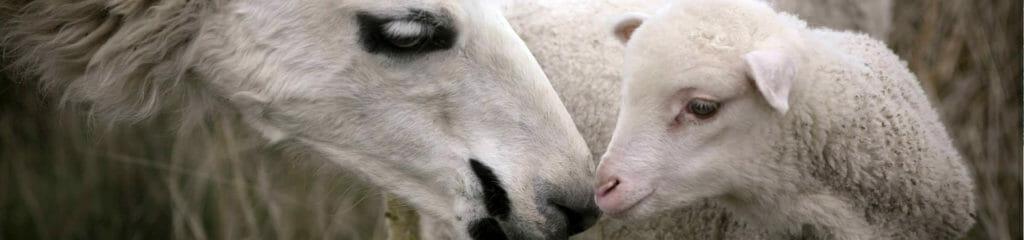 home_banner_lamma-lamb
