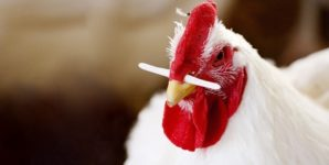 """Broiler Breeder"" Chickens: Their Misery Revealed"
