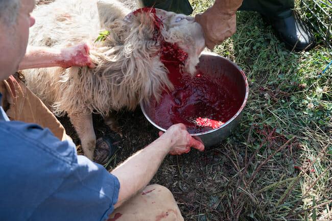 humane slaughter