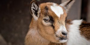'Ethical' Baby Goat Meat: Another False Dilemma of the Dairy Industry