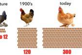 how many eggs do hens naturally lay
