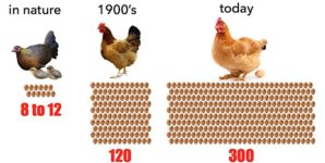 The Unavoidably Violent History of Backyard Eggs