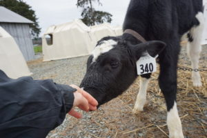 calf trying to suckle on human hand