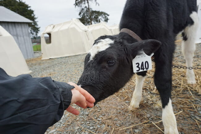 baby calf trying to suckle a human hand