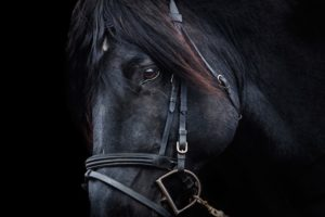 black horse in harness