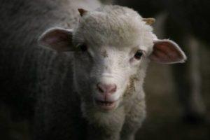 a lamb looking into the camera