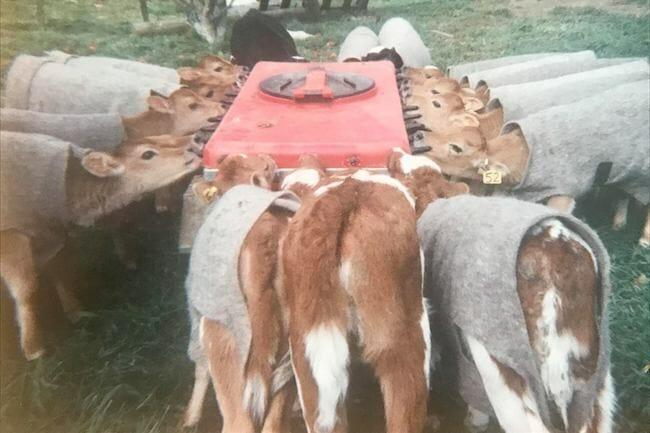 Calves feeding from a plastic bottle