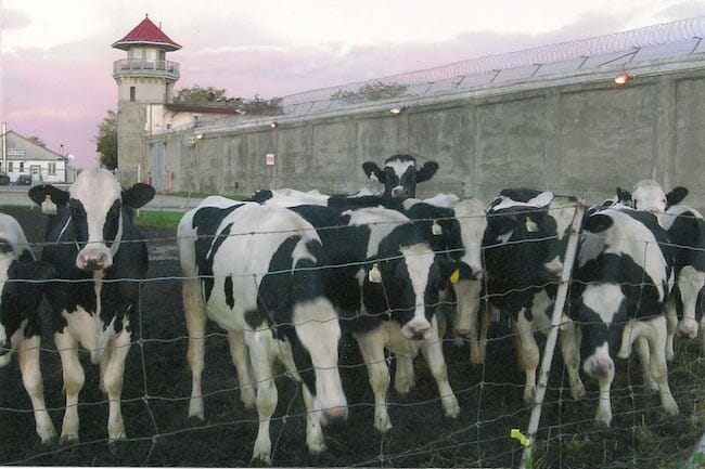 A herd of cows used for dairy on a prison farm.