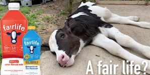 "Fairlife? Biggest ""Humane"" Dairy Label in U.S. Exposed for Horrific Routine Abuse"