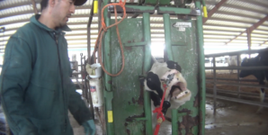 Fairlife Board Member Embroiled in First Major Abuse Investigation on Organic Dairy Farm
